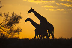 Giraffes silhouetted against sunrise sky. Two Giraffes walking, silhouetted against a sunrise sky in the Kalahari desert, Kgalagadi transfrontier park, South Stock Photography