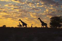 Girraffes silhouetted mot soluppgång Arkivfoto