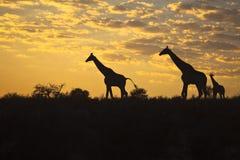 Girraffes silhouetted mot soluppgånghimmel Fotografering för Bildbyråer