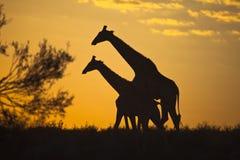 Girraffes silhouettierte gegen Sonnenaufganghimmel Stockfotografie