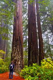 Girt looking at two giant Redwoods Stock Photos