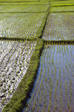 Gisement 2 de riz Photos libres de droits
