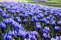 Gisement bleu d'iris Image libre de droits