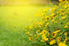 Gisement coloré de fleurs jaunes de coupeurs images libres de droits