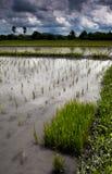 Gisement cultivé de riz en Thaïlande Photos stock