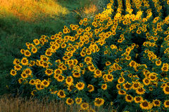 Gisement Curvy de tournesol photo stock