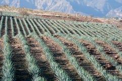 Gisement d'agave dans le Tequila, Mexique Photo libre de droits