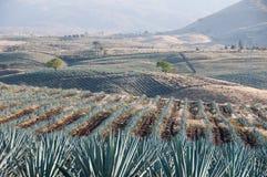 Gisement d'agave dans le Tequila, Mexique Photos libres de droits