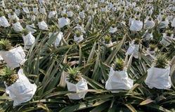 Gisement d'ananas Photographie stock libre de droits