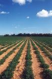 Gisement d'arachide Photo libre de droits