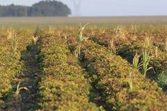Gisement d'arachide en Afrique du Sud photographie stock