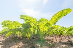 Gisement de betterave à sucre Betteraves à sucre vertes dans la terre photographie stock
