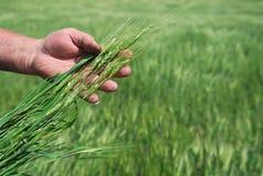 Gisement de blé de l'hiver Image libre de droits