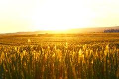 Gisement de céréale dans le coucher du soleil Image stock