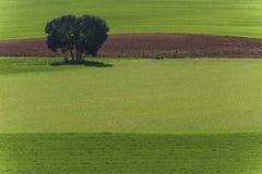 Gisement de céréale et chênes de chêne images stock