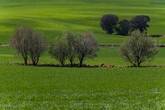 Gisement de céréale et chênes de chêne image stock