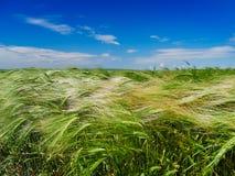 Gisement de céréale vert en été photographie stock libre de droits