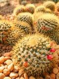 Gisement de cactus Photos libres de droits