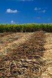 Gisement de canne à sucre Image libre de droits