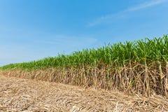 Gisement de canne à sucre Photographie stock libre de droits