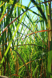Gisement de canne à sucre Photos stock