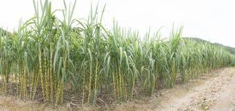 Gisement de canne à sucre Photos libres de droits