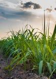 Gisement de canne à sucre Images stock