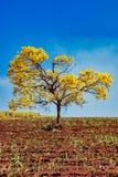 Gisement de canne à sucre avec la tenue de protection individuelle jaune d'isolement d'arbre - albus de Handroanthus - avec le ci image libre de droits
