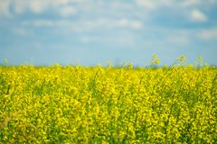 Gisement de Canola à Calgary Alberta prêt pour la récolte photo libre de droits