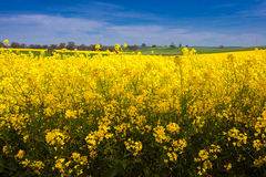 Gisement de Canola Photographie stock libre de droits