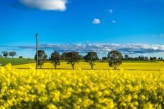 Gisement de Canola dans l'Australie Photographie stock libre de droits