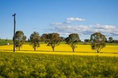 Gisement de Canola dans l'Australie Images stock