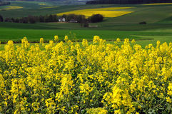 Gisement de Canola en Allemagne Photos stock