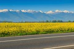 Gisement de Canola et hautes montagnes neigeuses, Fagaras, Carpathiens, Roumanie Images stock