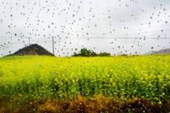 Gisement de Canola, gisement de fleur de graine de colza avec la baisse de pluie Images stock