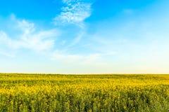 Gisement de Canola ou de graine de colza sur le fond de ciel bleu Photographie stock libre de droits