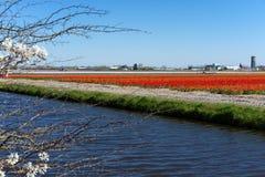 Gisement de ciel bleu et de tulipe photographie stock libre de droits