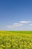 Gisement de colza oléagineux pendant l'été avec le ciel bleu Images stock