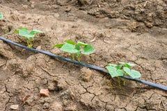 Gisement de concombre s'élevant avec le système d'irrigation par égouttement Image stock
