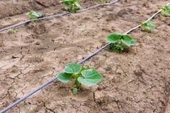 Gisement de concombre s'élevant avec le système d'irrigation par égouttement Image libre de droits