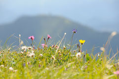 Gisement de fleur alpestre no.1 Photo libre de droits
