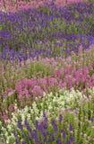 Gisement de fleur annuel bleu blanc rouge Image libre de droits