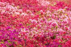 Gisement de fleur brillant d'azalée Photographie stock