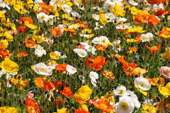 Gisement de fleur coloré de pavot Images libres de droits