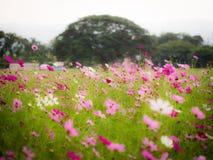 gisement de fleur de cosmos Image libre de droits