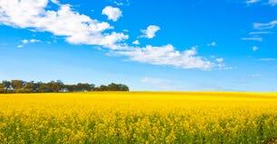 Gisement de fleur de Canola Images stock