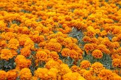Gisement de fleur de Cempasuchil Images stock