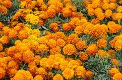 Gisement de fleur de Cempasuchil Image stock