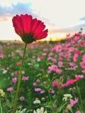 gisement de fleur de cosmos Photographie stock libre de droits