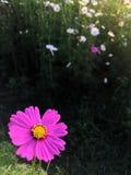 gisement de fleur de cosmos Images libres de droits